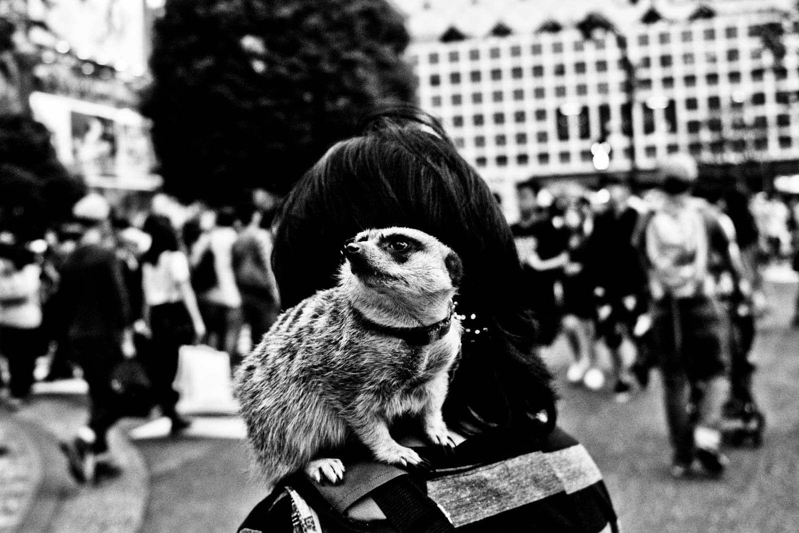 Meercat on a shoulder of Japanese man on Shibuya, Tokyo. Street photography by Victor Borst