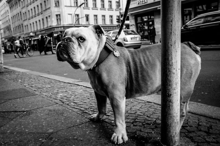 Badass looking Bulldog in Kreuzberg, Berlin. Street Photography by Victor Borst